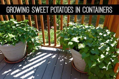 Growing Sweet Potatoes In Containers Veg Garden Edible Vegetable Gardening Container