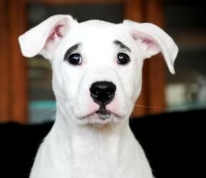 adopt brooke on south bend bull terrier dog and pit