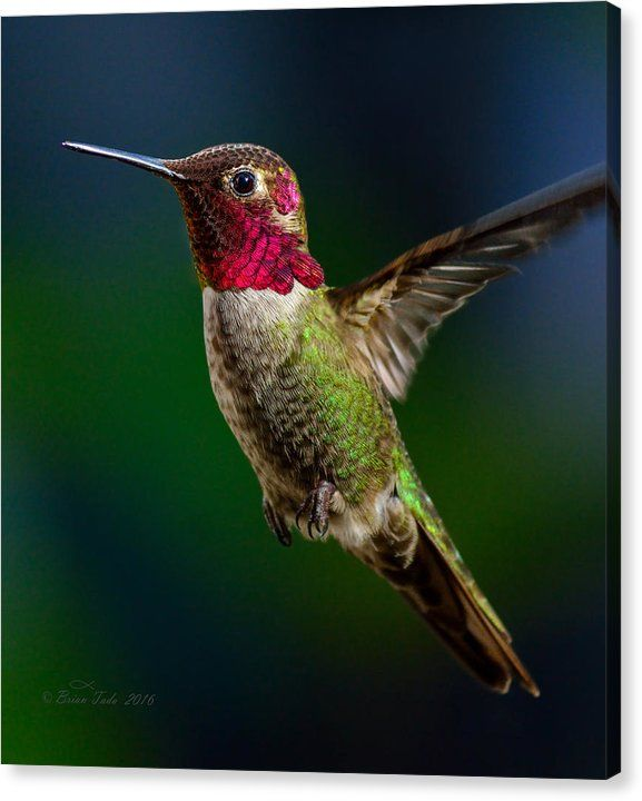 "#Hummingbird Canvas Print featuring the photograph ""Good Friday Visitor"" by Brian Tada"