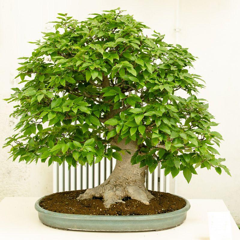 Bonsai Kerb-Buche - Fagus crenata | Bonsai | Pinterest | Bonsai baum ...