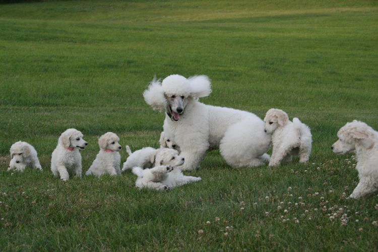 I would just be in POODLE Heaven if I saw these babies in person!!  <3
