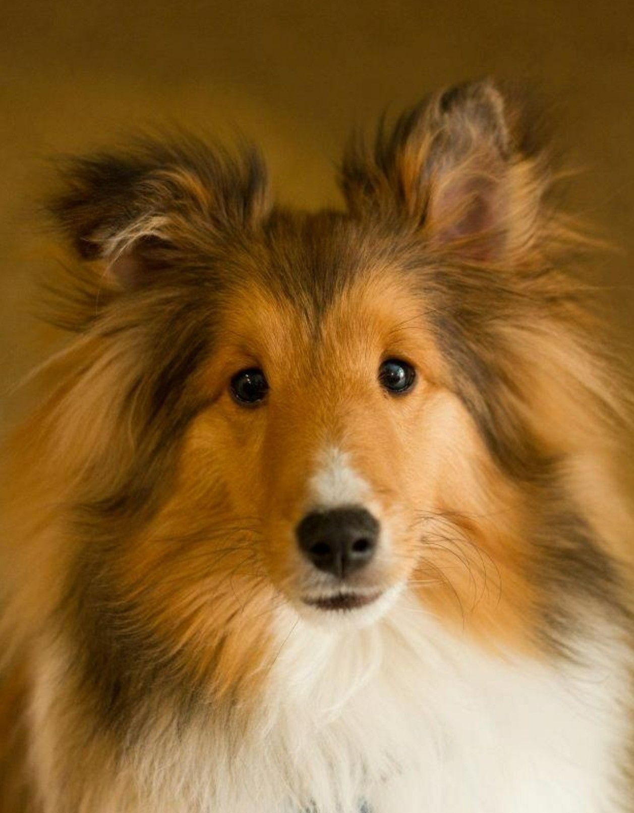Pin By Monica Riley On Sadie Girl Sheep Dog Puppy Sheltie Dogs