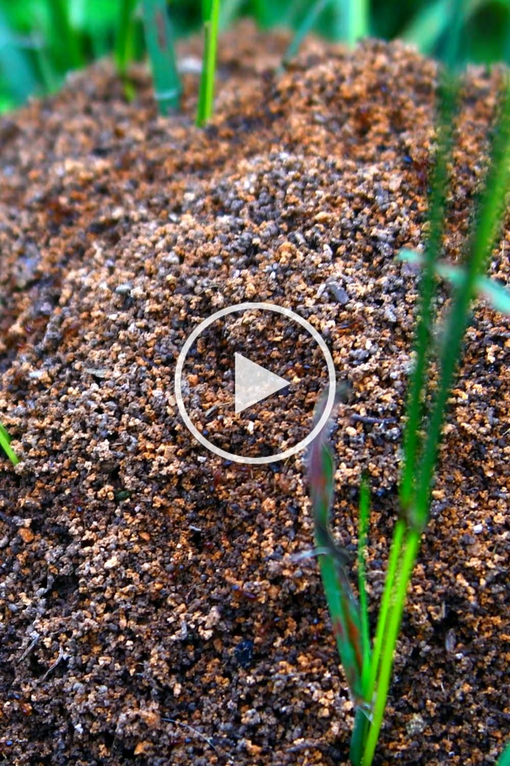 Fire ants taking over your lawn overn out will take care