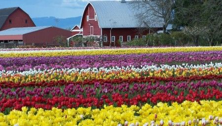 Skagit Valley Tulip Festival.  Worth it!  Tons of cars, but it's stunning.