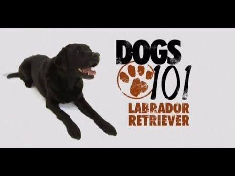 Dogs 101 Labrador Retriever Eng Dogs 101 Labrador Retriever