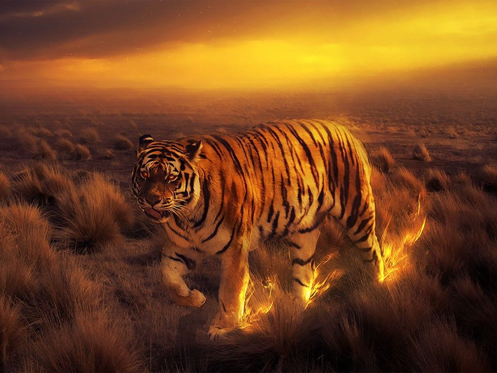 tiger wallpapers for facebook