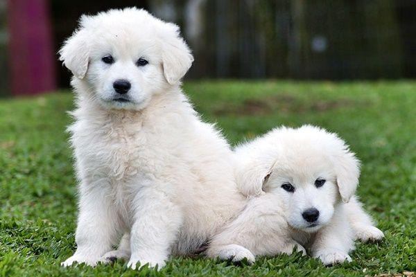 Pin By Audrey Carol On Cute Cuddly Animals Kuvasz Dogs Dog Breeds