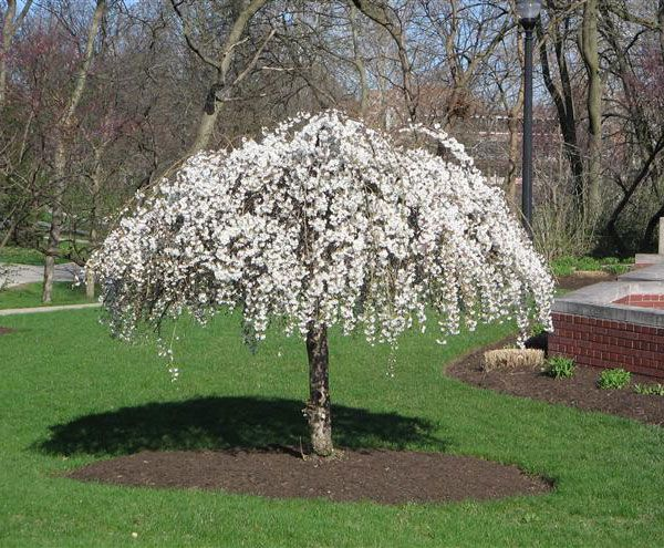 Weeping mulberry trees by weatherwise photo weather for Tiny ornamental trees