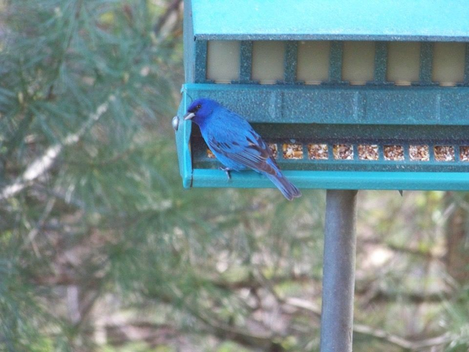 Indigo bunting in our yard (With images) | Outdoor decor ...