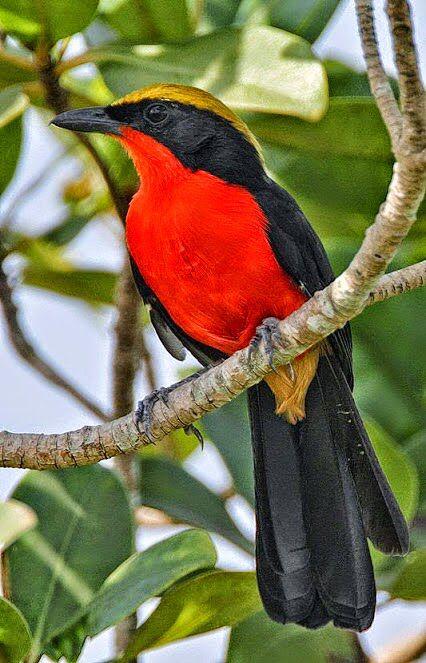 Yellow crowned black bird, Equatorial Africa