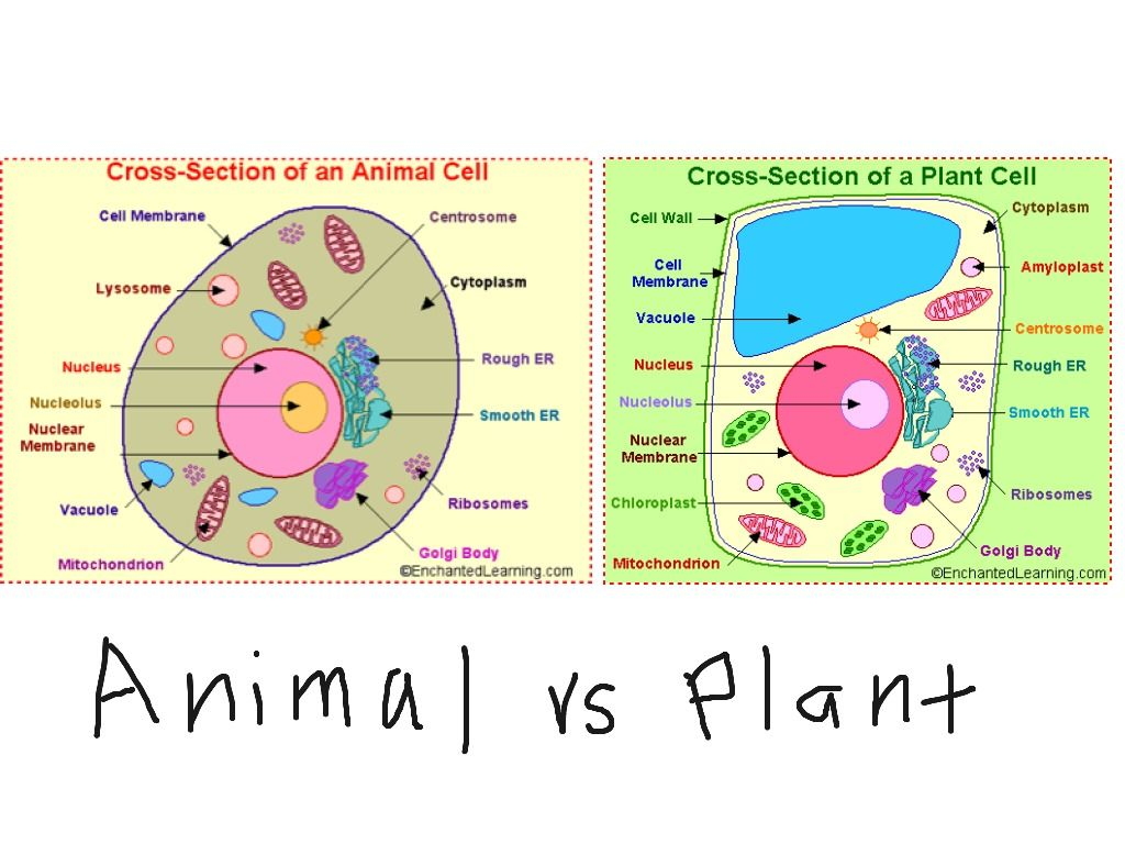 Animal Vs Plant Cell