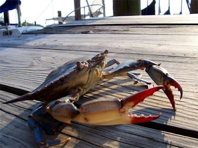 Going Coastal Maryland Blue Crab Plentiful In The Southern States