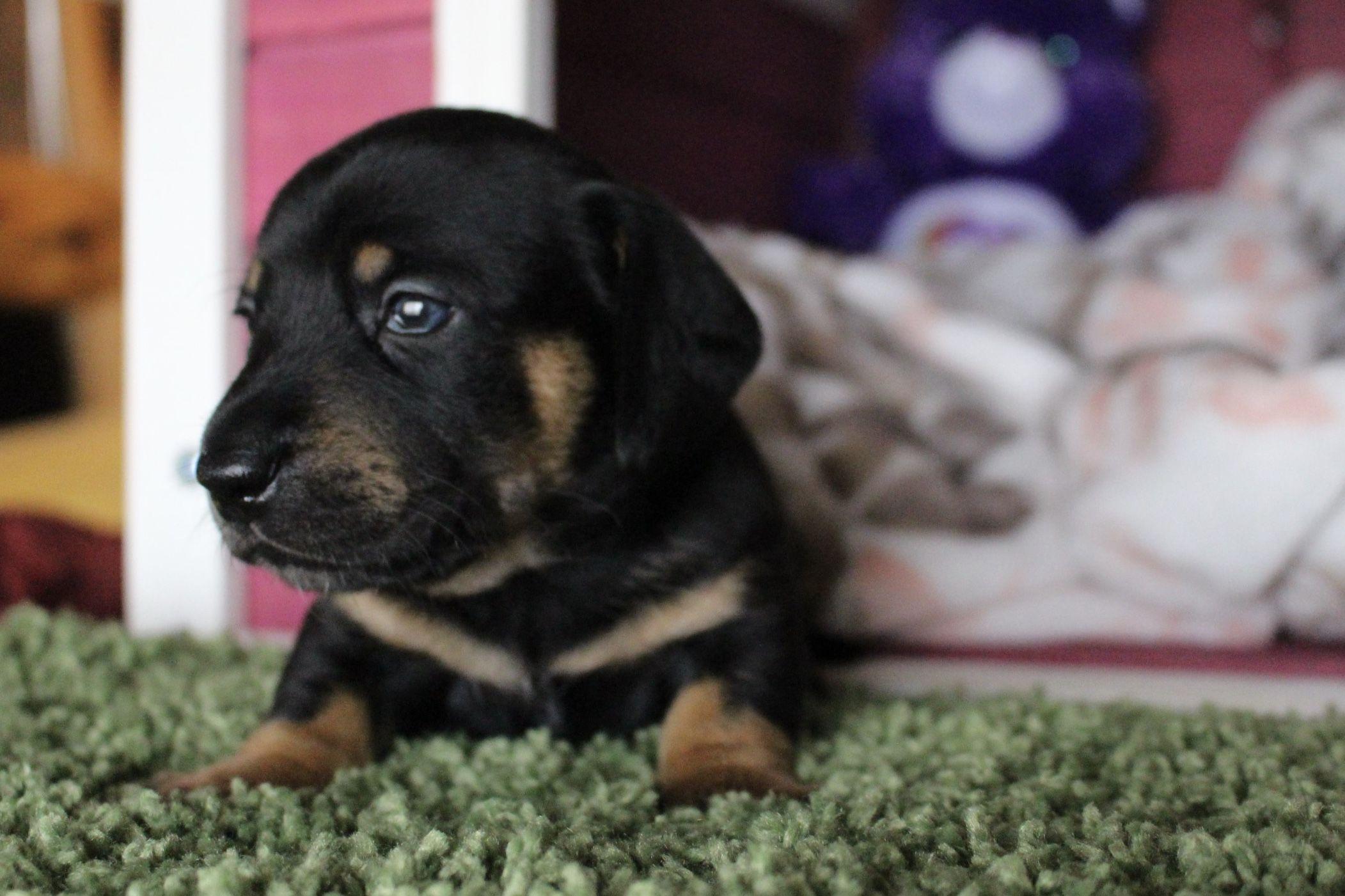 Black And Tan Miniature Dachshund Shorthair Male Puppy
