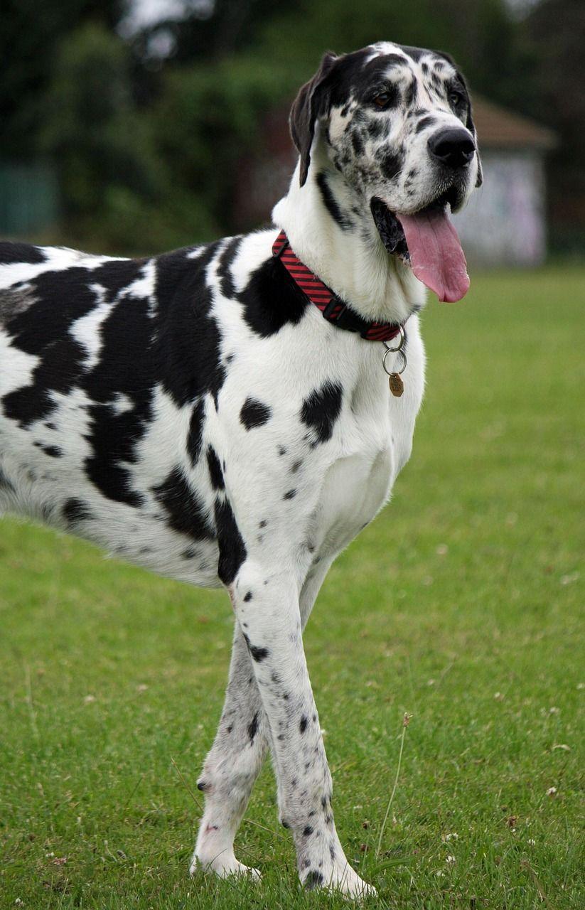 Hip Dysplasia In Dogs Risk Factors Prevention Great Dane Dogs