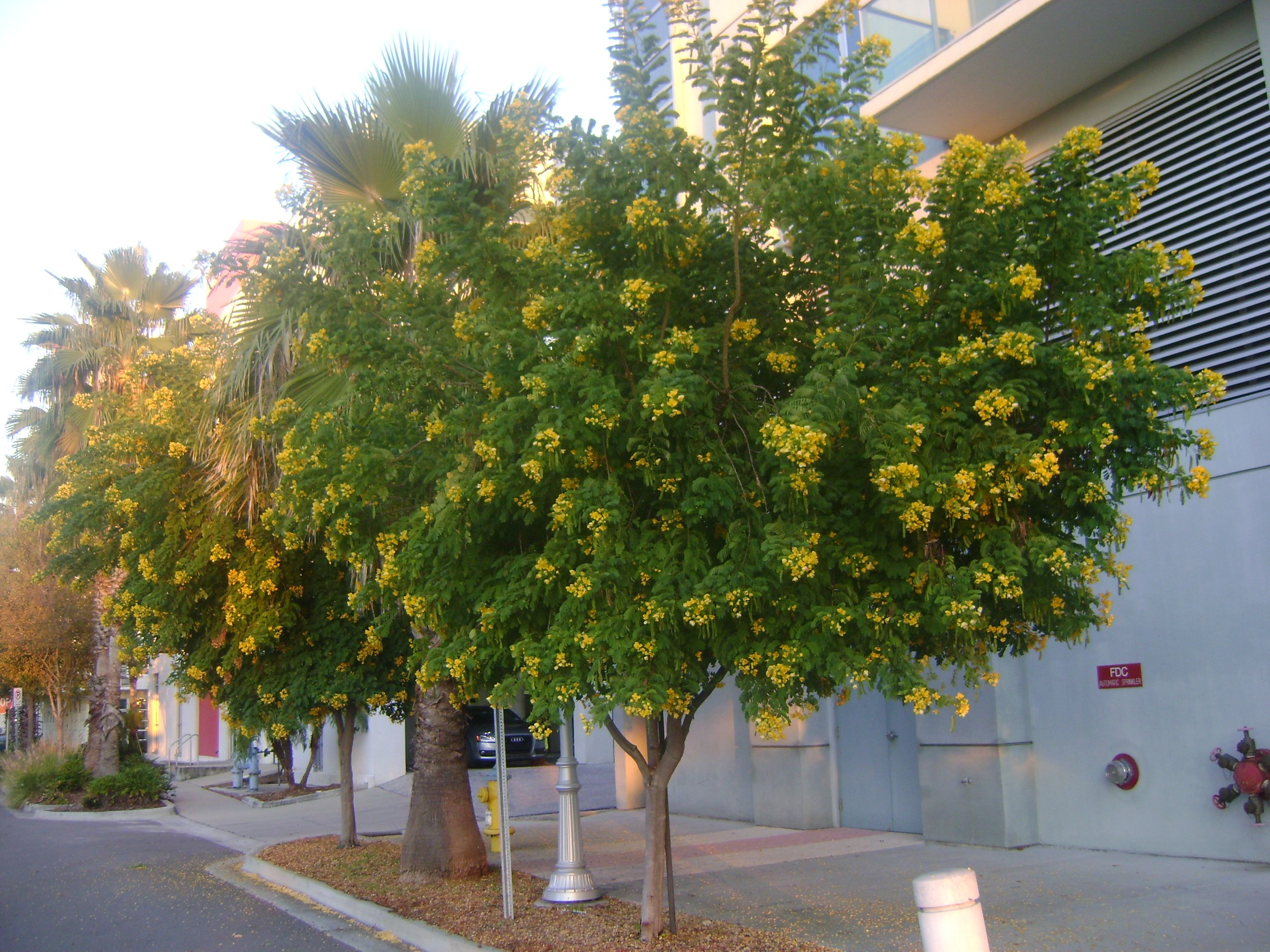The fast growing Cassia tree can eventually reach 40 feet in