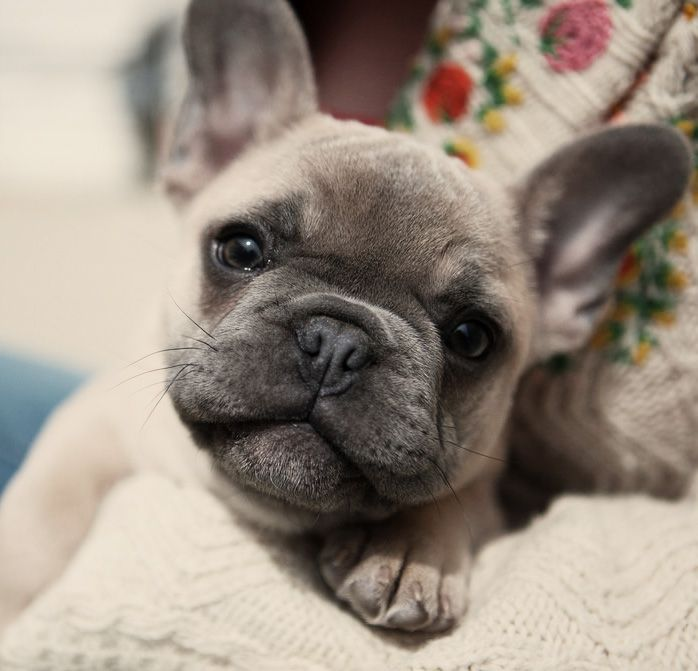Pin By Czardom On Fur Ball Babies French Bulldog Puppies Cute