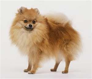 Still Missing Reward Clay Greenhouse Reply To Jfv3t 3157231355 Comm Craigslist Org Reward For The Return Pomeranian Dog Pomeranian Puppy Dog Breeds