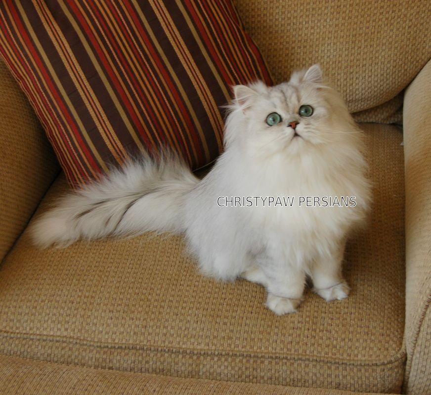 Christypaw Persians Christypaw Persians Persian Kittens Teacup Persian Kittens Kittens