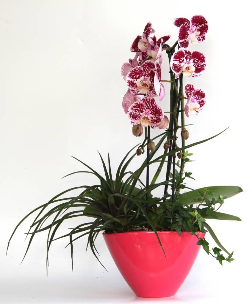 Vlinderorchidee Red Dots Round opgemaakt in pot