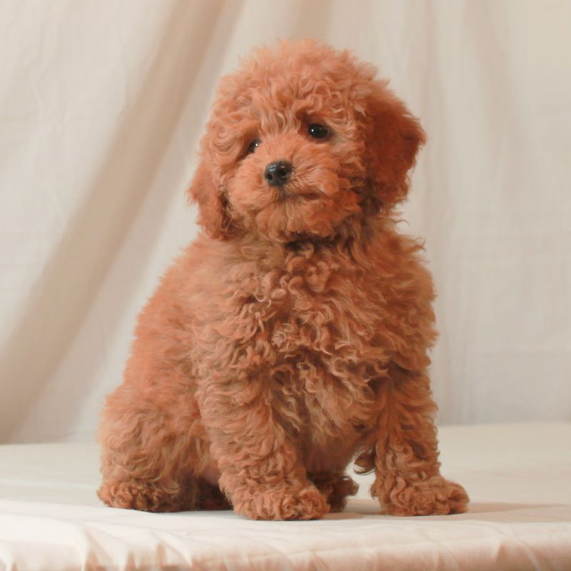 Apricot Puppy Akc Poodle Scarlet S Fancy Poodles Poodle
