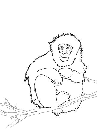 Japanese Macaque Or Snow Monkey Coloring Page Monkey Coloring