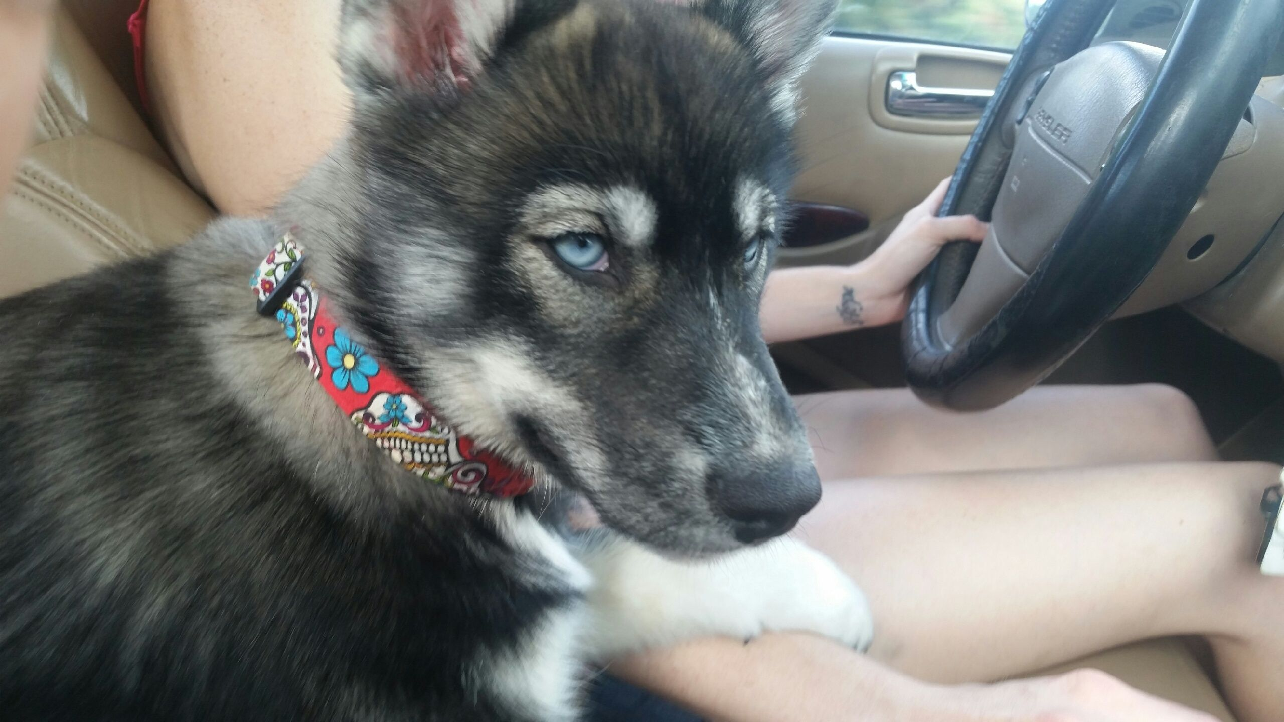 You are a handsome little fella! Husky Love! Cute dogs