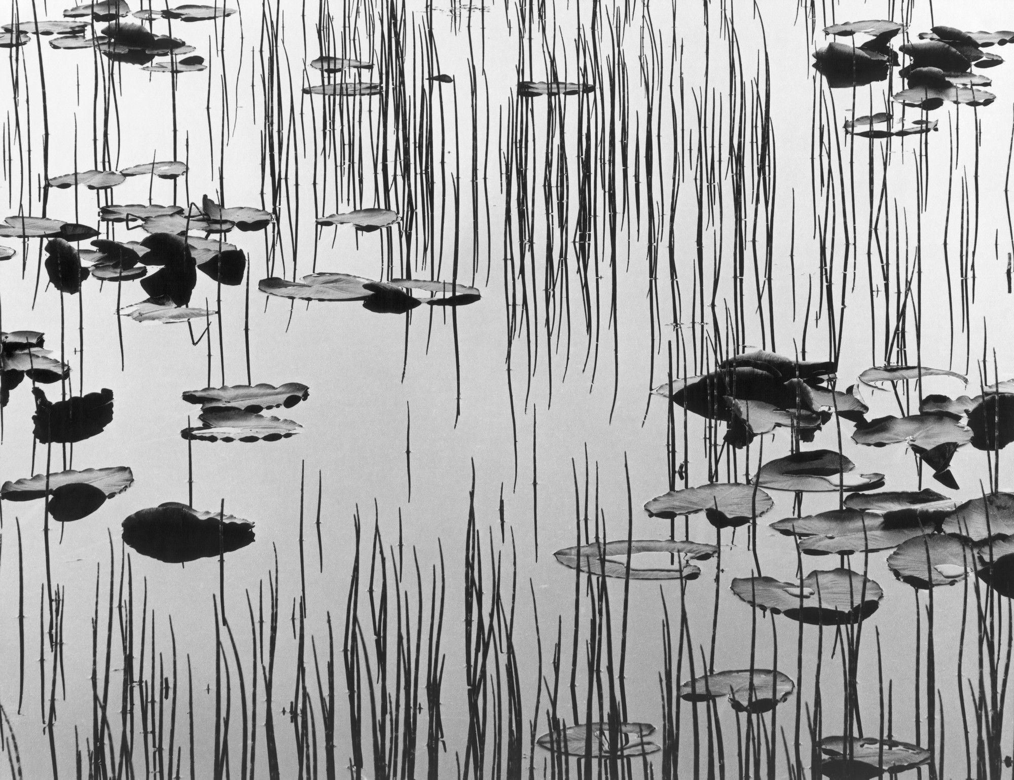 Brett Weston Reeds And Lily Pads Discover And Shop Museum Art