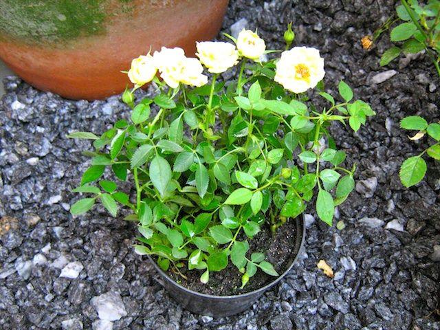 Mini-rosas amarelas.