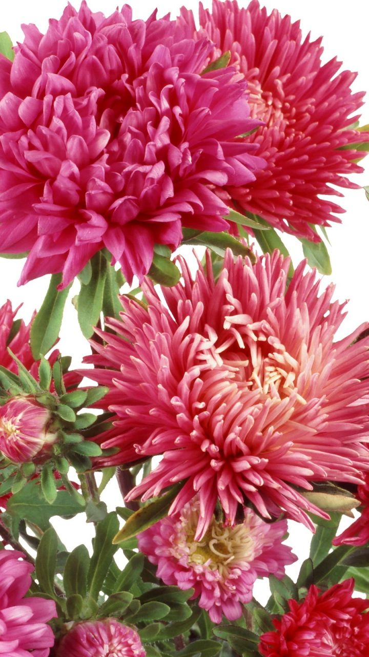 Download Wallpaper 720x1280 Chrysanthemums Flowers Bunch Samsung Galaxy S3 Hd Background Flowers Chrysanthemum Flower Chrysanthemum