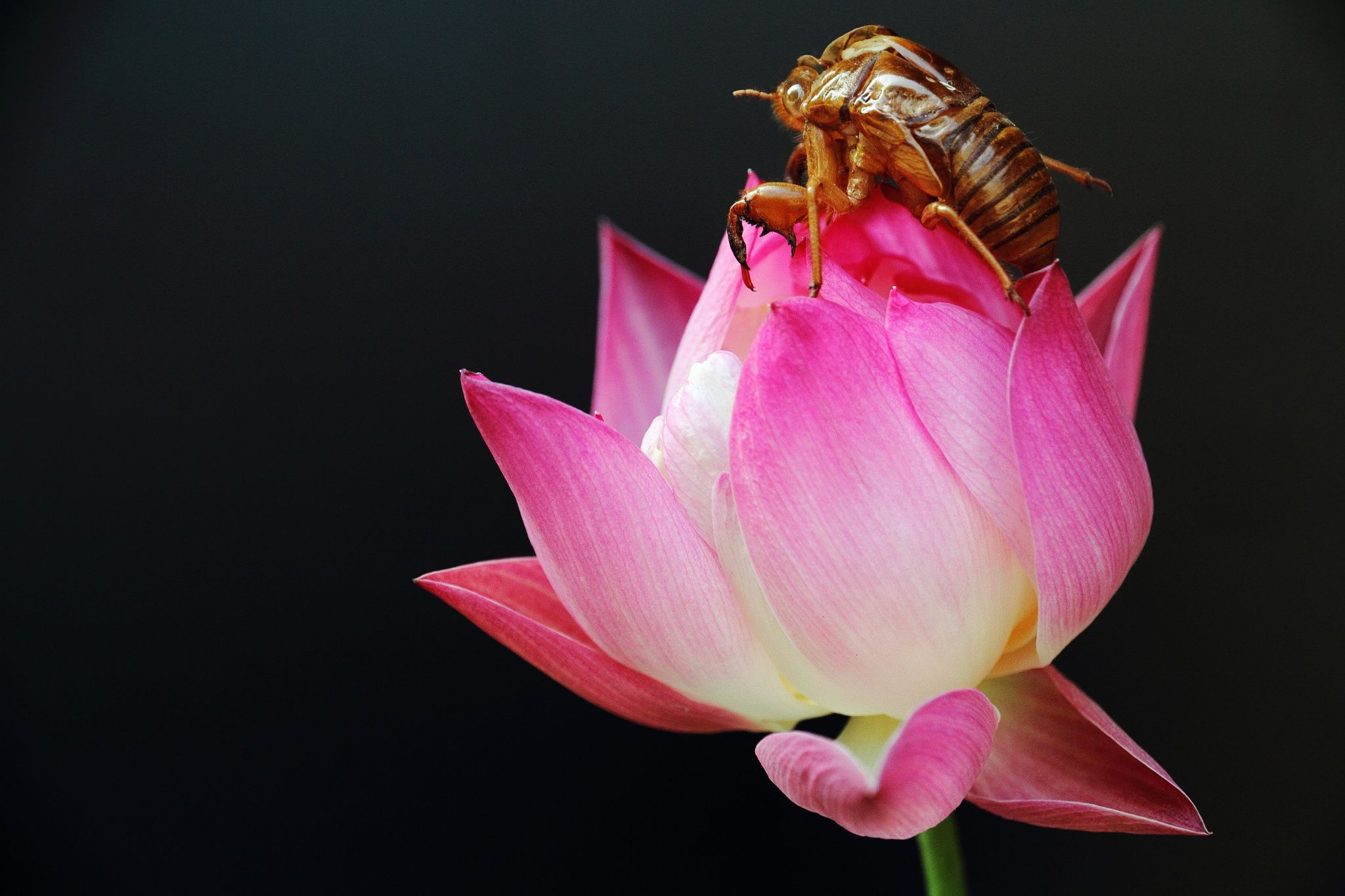 Husk Of The Cicada And The Lotus Flower True Or