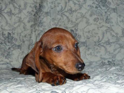 Dachshund puppy for sale in LAKE STEVENS, WA. ADN-25523 on ...