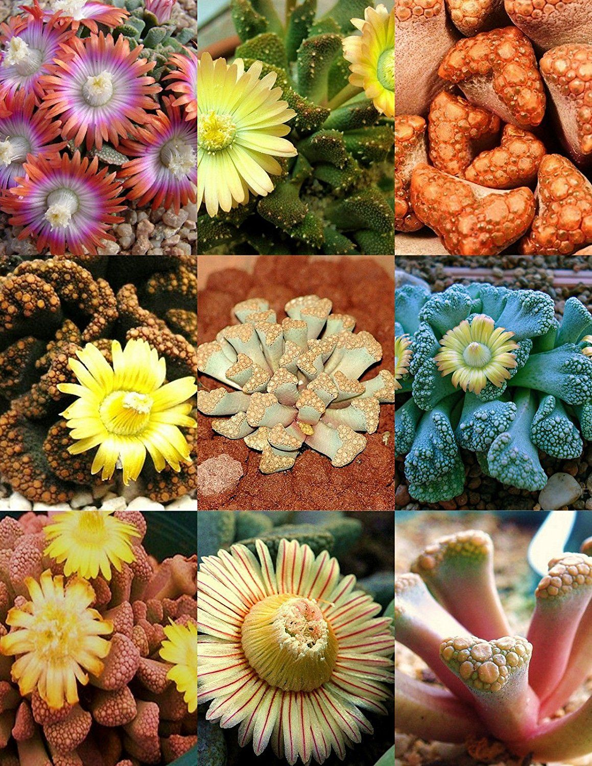 Titanopsis Mix, Succulent Cactus Mixed Living