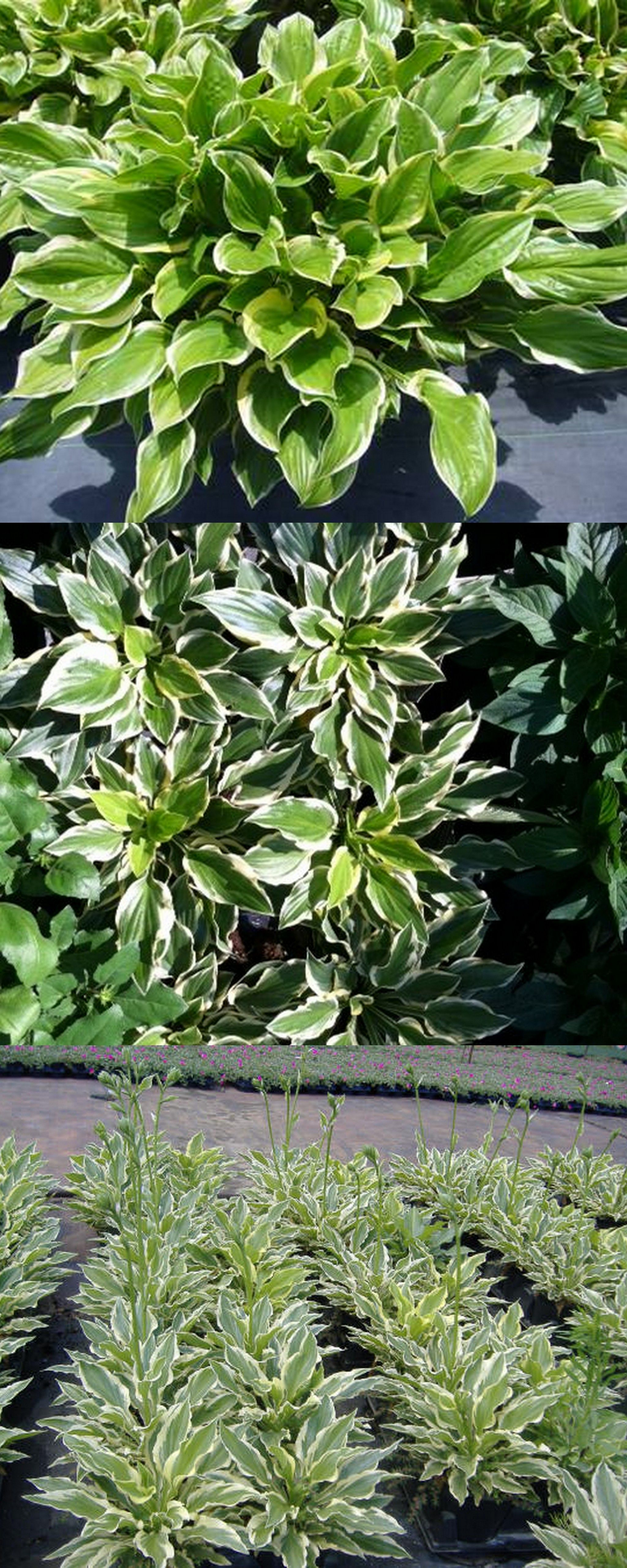 Sunhosta A Hosta That Can Take The Heat Of Florida And Is