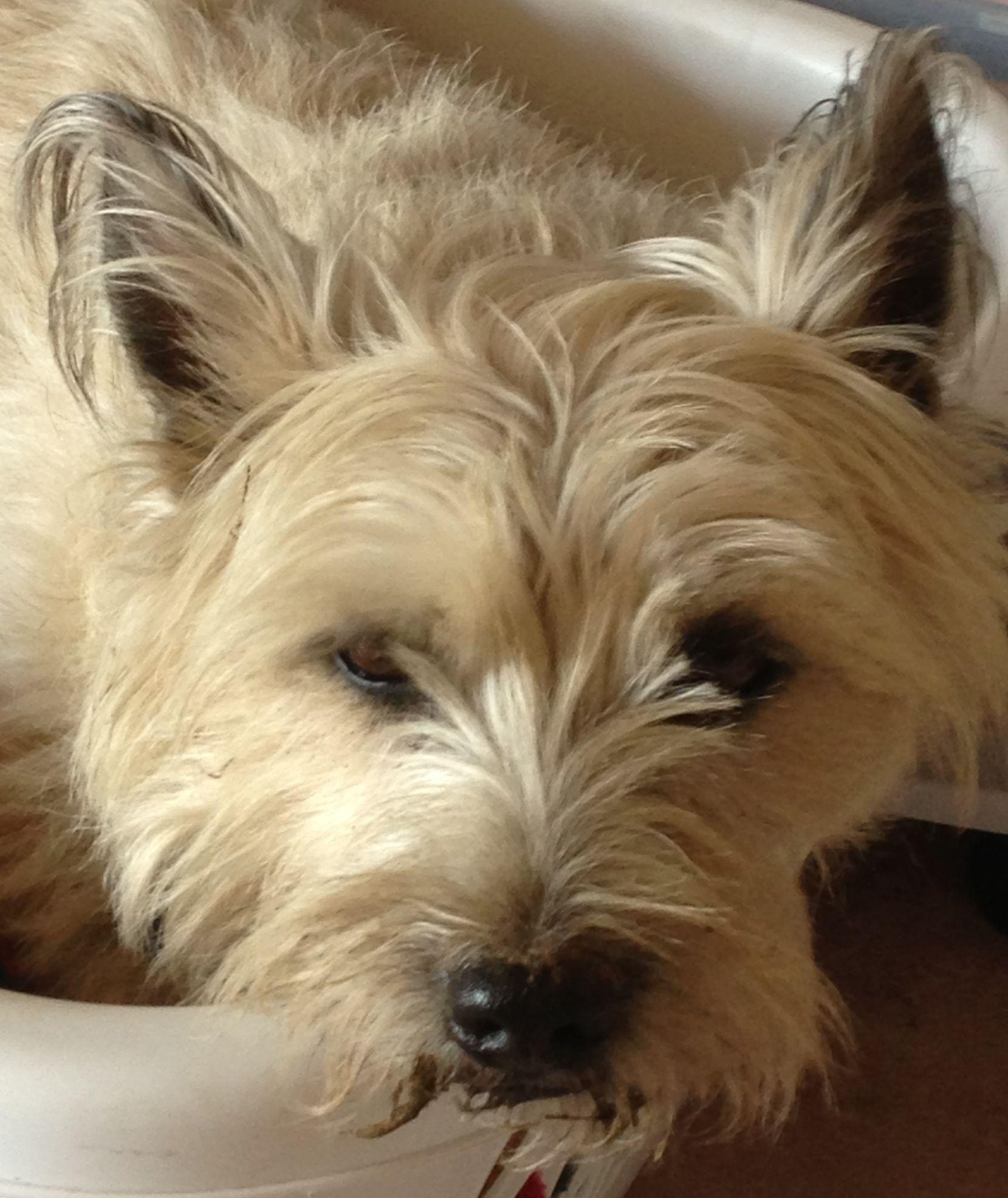 Colby Cairn Terrier Handsome Cairn Terrier Glen Of Imaal