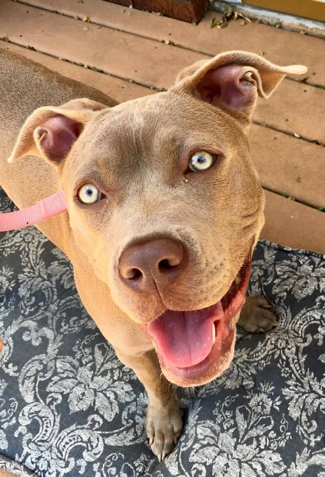 Adopt Luna On Pitbull Terrier Pitbulls Pitbull Terrier Puppies