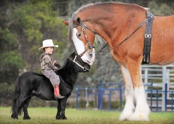 This shows how big a Clydesdale is in comparison to a pony or miniature horse.