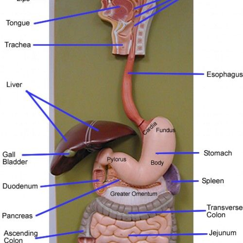 System Model Labeled Human Anatomy Body Human Digestive System