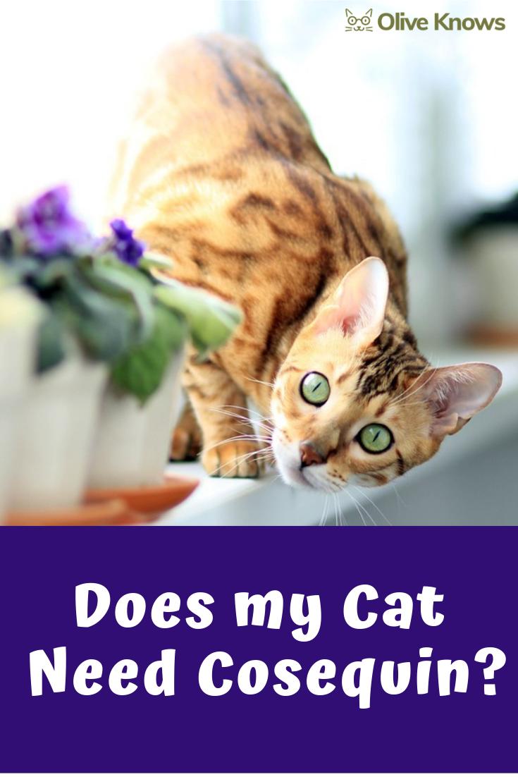 Does My Cat Need Cosequin Cat Care Cat Health Care Cat Health