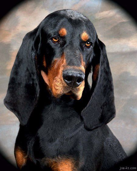 A Black And Tan Coonhound Creative Name No What Baxter Was