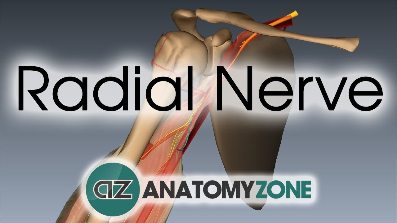 24+ Radial Nerve   3D Anatomy Tutorial