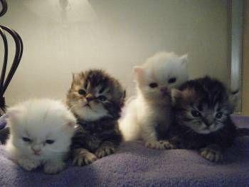 Scottish Fold Kittens Scottish Fold Kittens Kittens Cutest
