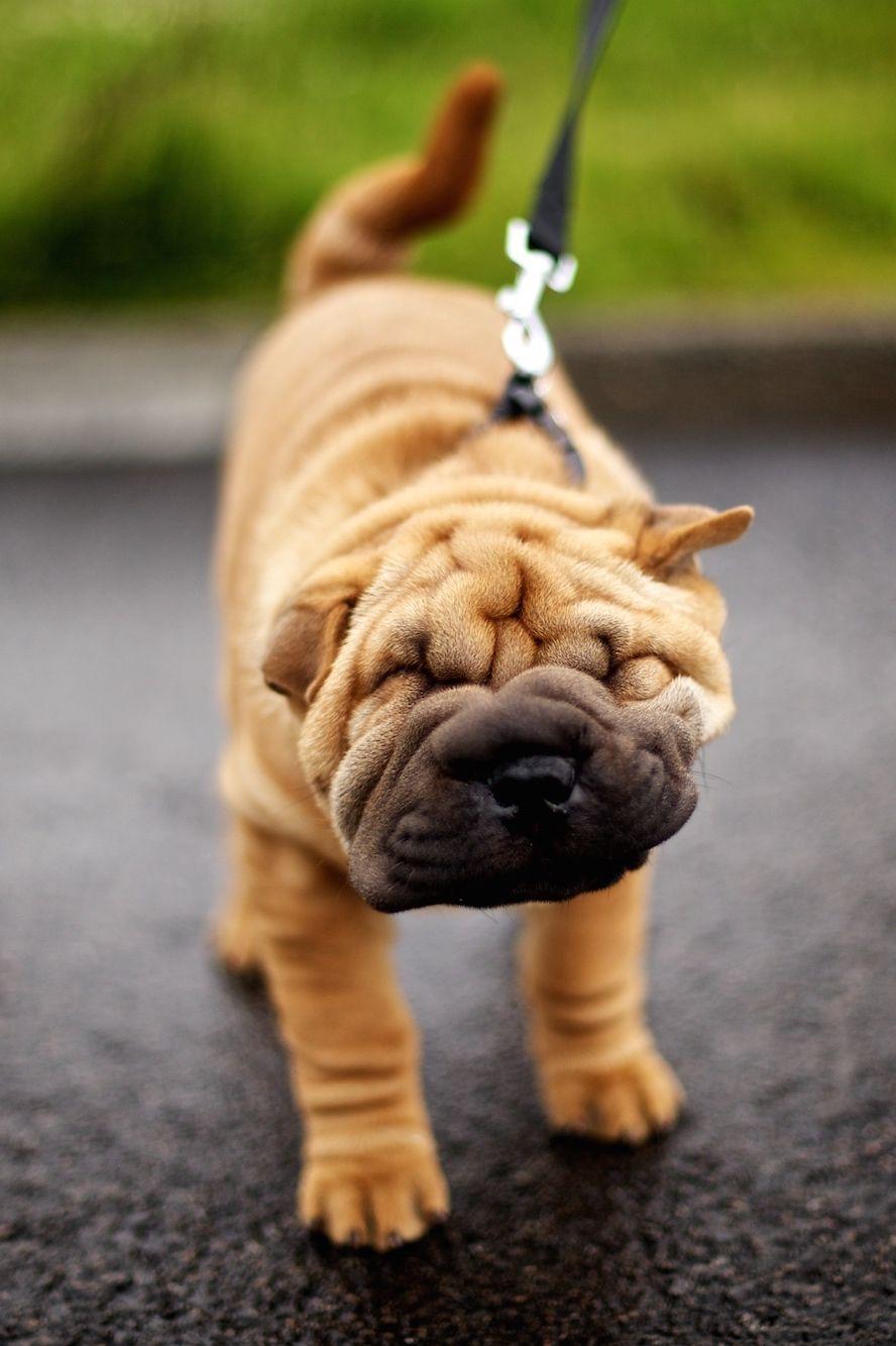 Chinese Sharpei Wrinkly Dog Shar Pei Dog Shar Pei Puppies