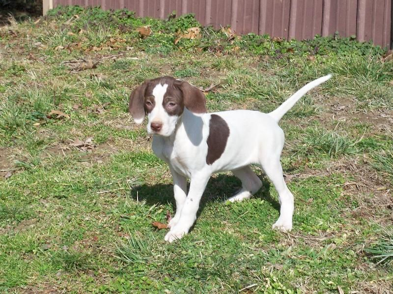 Pointer English Pointer Pointer Puppies Dogs Bird Dogs