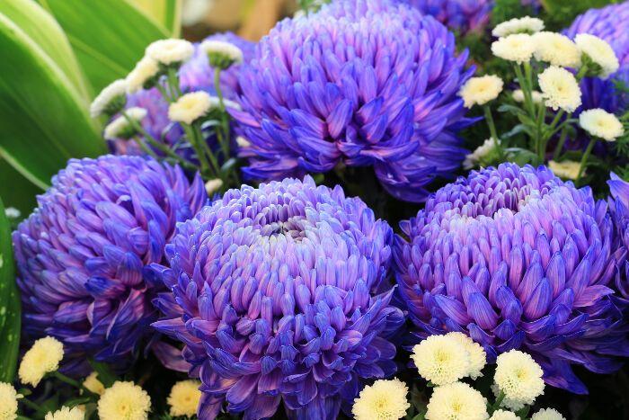 Chrysanthemum Flower Meaning Symbolism Chrysanthemum Flower Chrysanthemum Flower Meanings