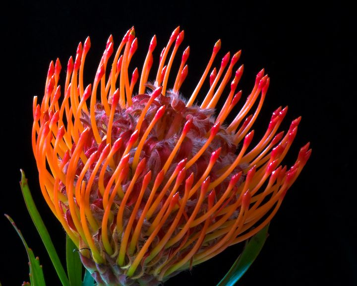 Pincushion #protea, #wild #flowers of #South #Africa