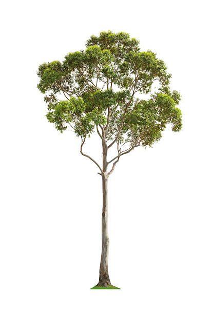 Eucalyptus Tree Eucalyptus Tree Vegetation Plants