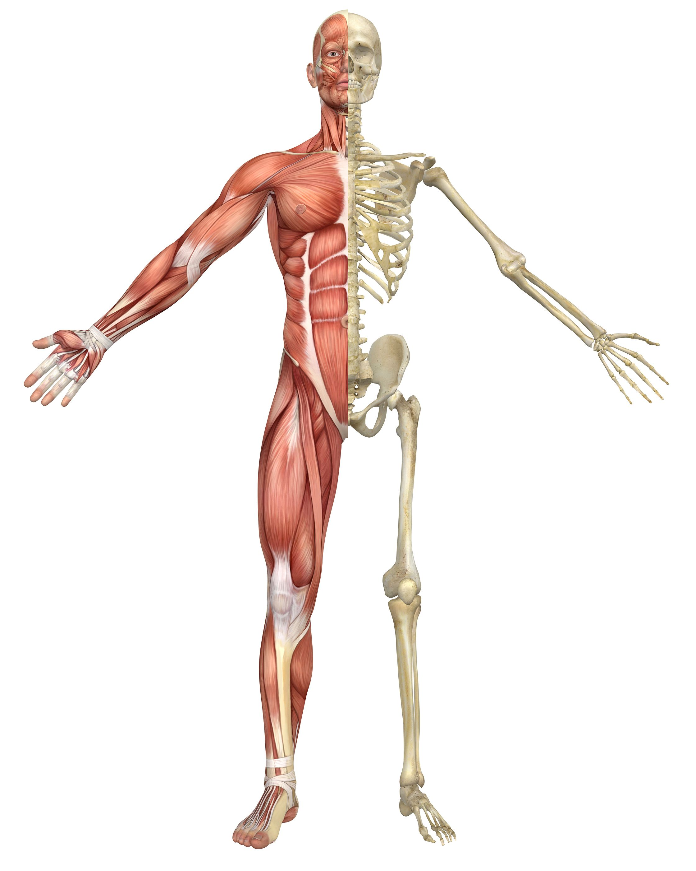 skeleton and muscles - google-søgning | anatomy study | pinterest, Skeleton