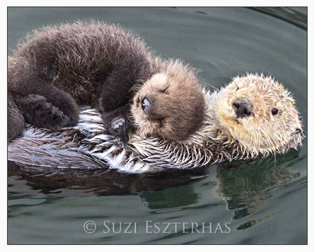 Momma & baby otter Animals, Cute animals, Baby sea otters