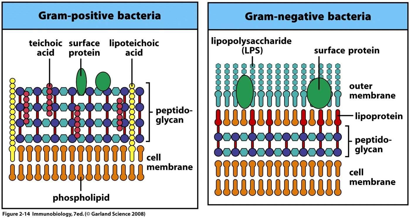 Cell structure of bacteria with diagram - Lesson 5 Bacteria Gram Positive A Gram Positive Cell Wall Has Many Layers Of Peptidoglygan That Retain The Crystal Of Violet Dye When The Cell I