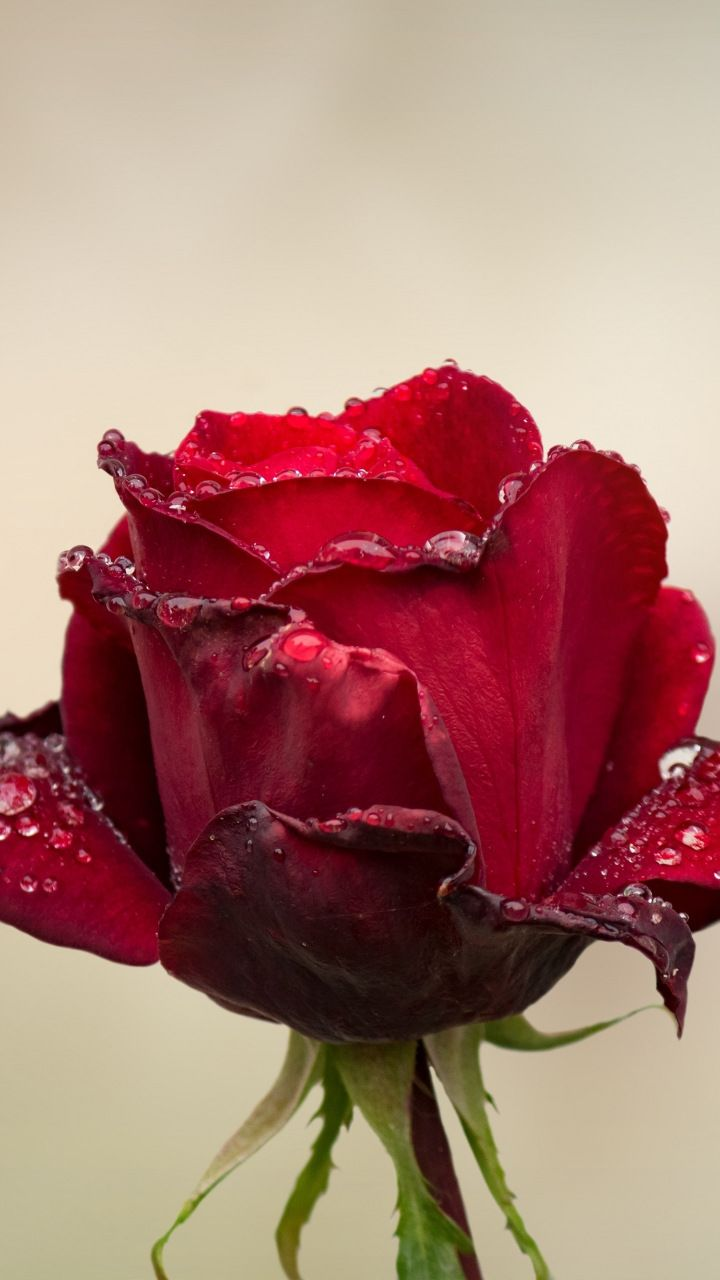 red rose, water drops, bud, 720x1280 wallpaper | flowers wallpapers